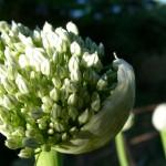 Svogūnų auginimas iš sėklų