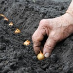 Svogūnų auginimas sode ir derliaus nuėmimas