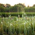 Česnakų naudojimas naikinant kenkėjus sode ir darže(amarai, erkutės ir kitos ligos)