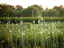 česnakų laukas