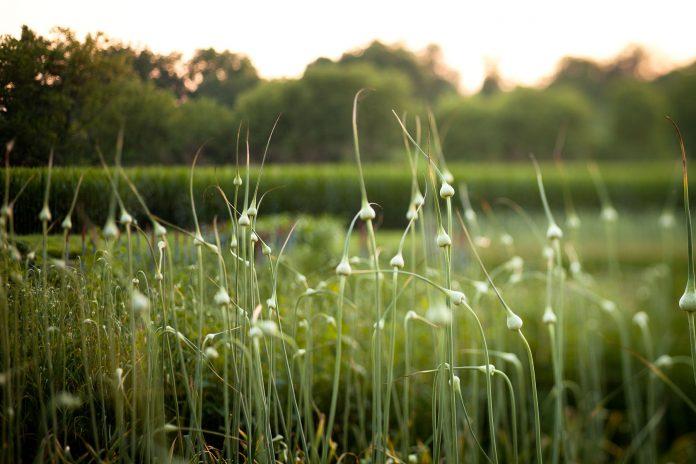 Česnakų naudojimas naikinant kenkėjus sode ir darže (amarai, erkutės ir kitos ligos)