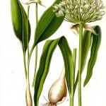 MEŠKINIS ČESNAKAS – Allium ursinum L