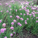 NARCIZALAPIS ČESNAKAS – Allium nutans L