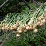 Narcizalapiai svogūnai ir jų savybės