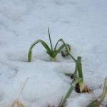 Temperatūros įtaka svogūnų auginimui