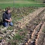 Svogūnų derliaus ėmimas – svogūnų rovimas ir džiovinimas