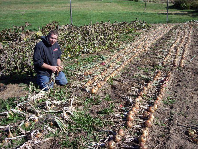 svogūnų rovimas