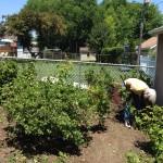 Agrastų ir serbentų sodinimas