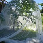 Kaip atbaidyti paukščius nuo vyšnių, trešnių, slyvų ir kitų vaiskrūmių ir daržo