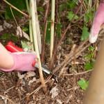Kaip tinkamai prižiūrėti avietes ir gervuoges? – Pamoka sodininkams