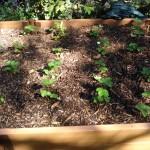 Braškių auginimas: dirvos paruošimas joms ir jų sodinimas