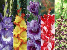 gladiolių veislės