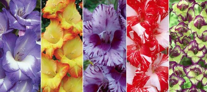 Kardelių veislės – kiek jų auginti savo darželyje ar ūkyje?