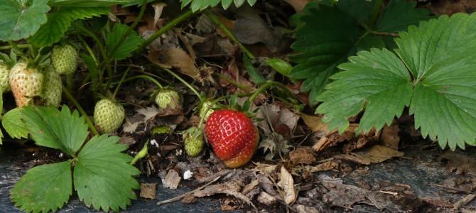 Kaip prižiūrėti braškynus savo sode