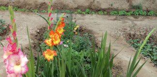 kardeliai gladiolės