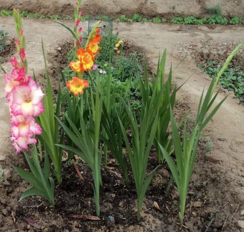 kardeliai gladioles