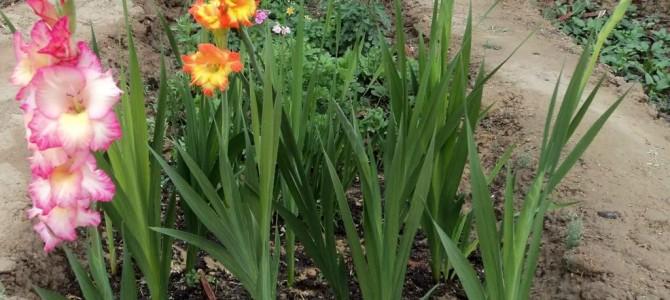 Kardelių auginimas – viskas ką reikia žinoti sodinant, auginant ir prižiūrint kardelius
