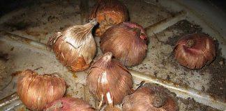 kardelių svogūnėliai