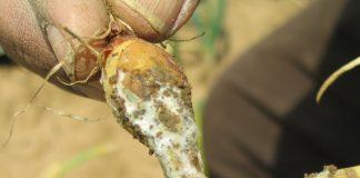 svogūnų ligos