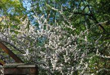 Pukuotosios vyšnios auginimas sode ir dauginimas
