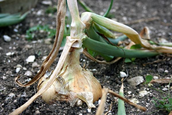 Temperatūros įtaka svogūnų augimui