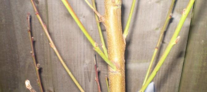 Kaip sodinti ir kur auginti skiepytus slyvus?