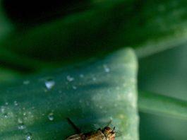 svogūninė musė