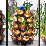 Kaip užsiauginti svogūnų laiškų kambaryje: auginimas žemėje ir vandenyje