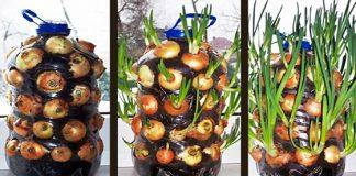 svogūnų auginimas viduje