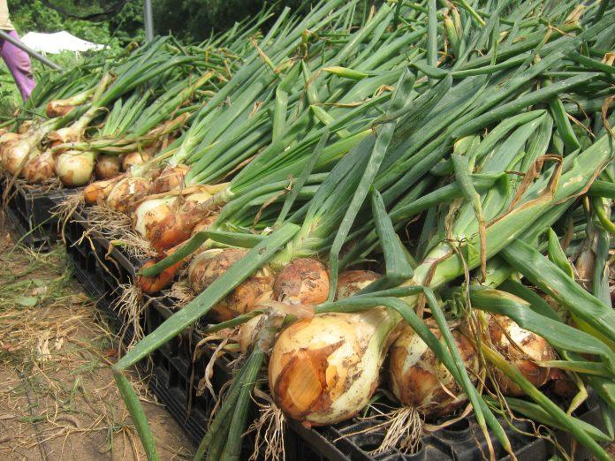 Kaip ir kada nurauti svogūnus bei juos paruošti žiemai