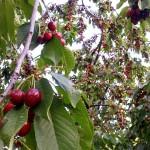Išsamus vyšnių veislių aprašymas
