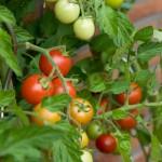Pomidorai ir jų maistinė vertė