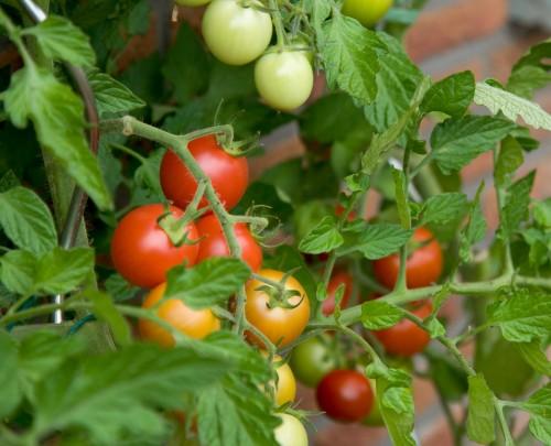 pomidorai maiste