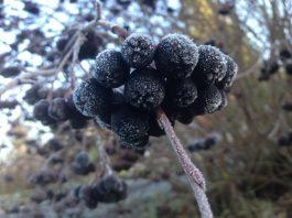 aronijų auginimas žiemą
