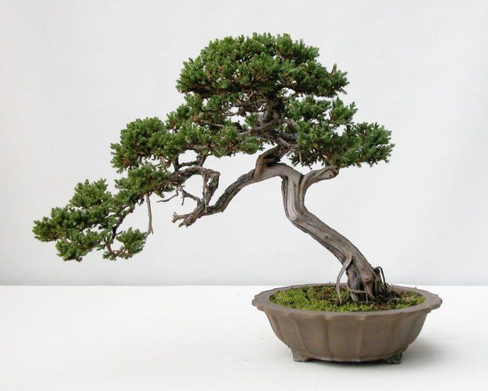 bonsai medelis