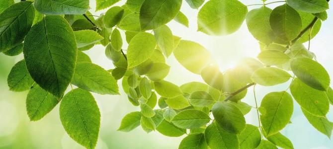 Kaip žinoti kiek šviesos reikia augalui? – Pažiūrėkit į jo lapus