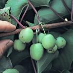 Aktinidijų auginimo verslas – kaip auginti ir prižiūrėti aktinidijas, kad pardavus uogas gautumėte pelną? – Video