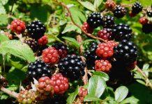 Braškių sodinimas, auginimas ir priežiūra