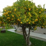 Kaip lietuvoje užsiauginti citrinų(citrinmedį)?