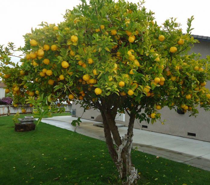Kaip Lietuvoje užsiauginti citrinų (citrinmedį)?