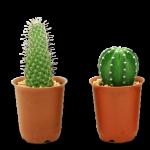 Viskas apie kaktusus – jų auginimas, priežiūra, dauginimas ir persodinimas