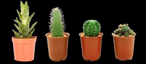 kaktusu gidas