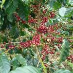 Labai trumpai apie kavamedį