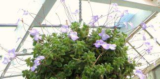 svyrančioji gėlė