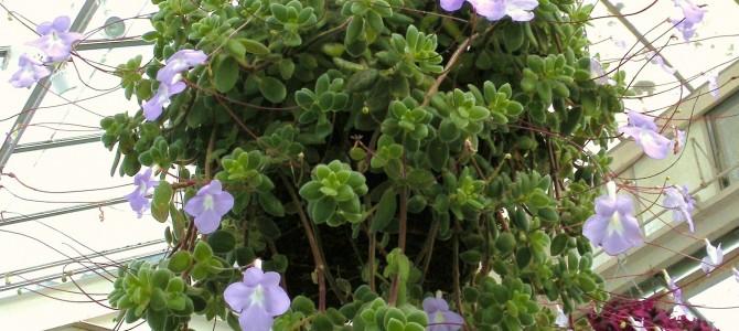 Kokie yra svyrantieji augalai?