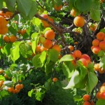Kaip Lietuvoje užsiauginti abrikosų?