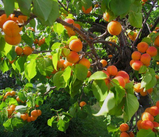 abrikosų auginimas