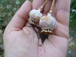 aguonų auginimas