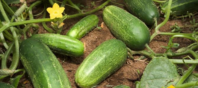 Trumpai apie agurkų auginimą ir priežiūrą