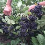 Trumpas aronijų auginimo gidas sodininkams